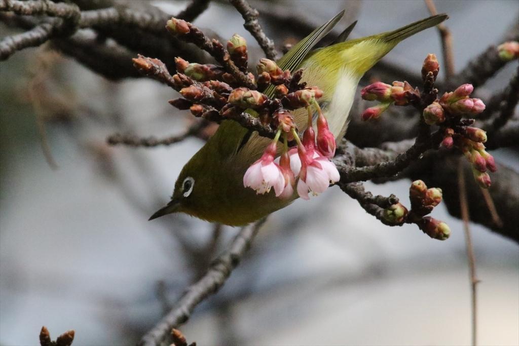 メジロと桜_2