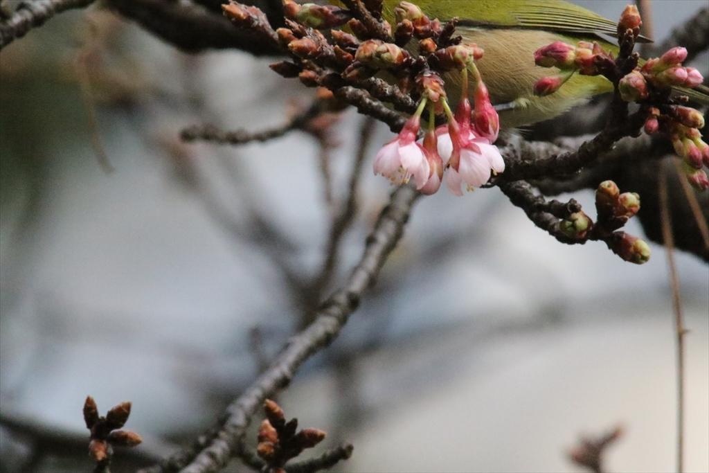 メジロと桜_3
