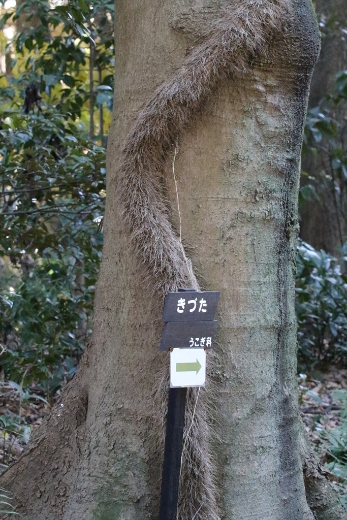 木蔦がまだひっついていた_1