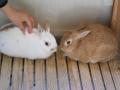 190113フレンドハウスのウサギ