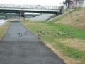 181222くいな橋に、鴨