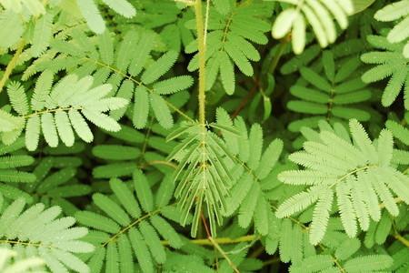 Sensitive plant (1)