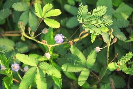 Sensitive plant (2)