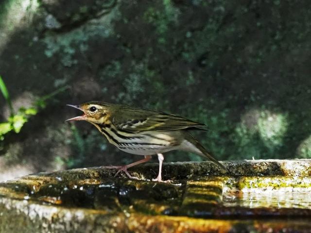 181118野鳥3
