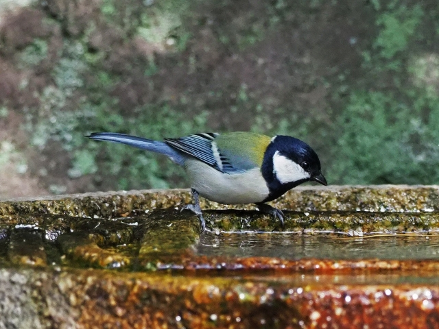 181118野鳥4