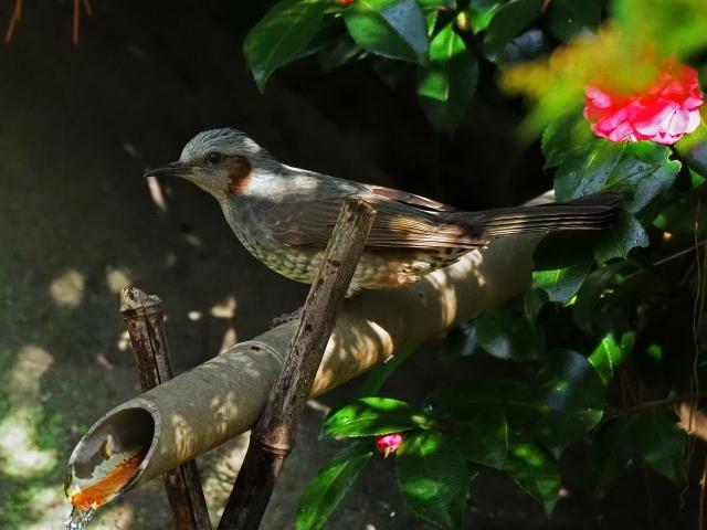 181118野鳥10