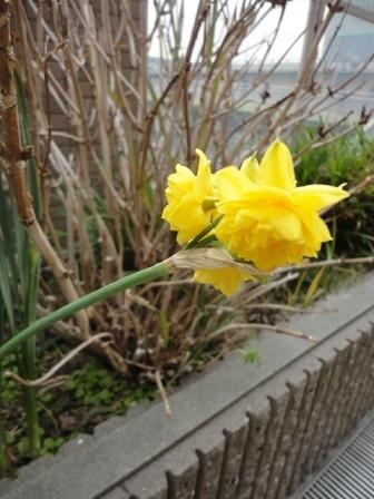 やっと咲き始めた水仙②