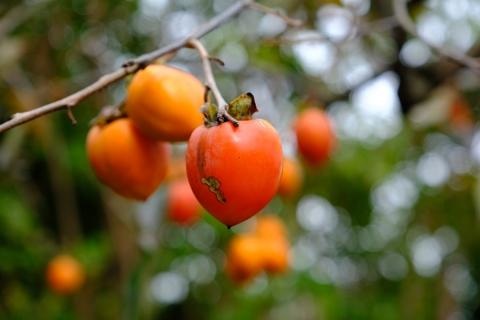 21秋の味覚柿