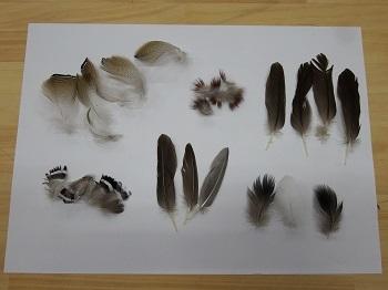 オシドリ羽 (2)