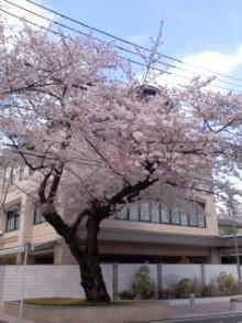 公明党 田中かすみ(香澄) オフィシャルページ-20110407青年桜.jpg