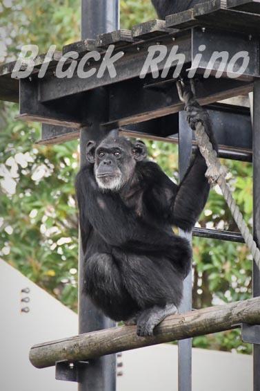 ニシチンパンジー ヨウ01 日立市かみね動物園
