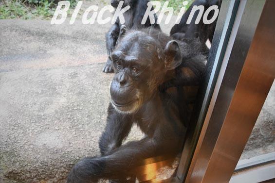 ニシチンパンジー ヨウ02 日立市かみね動物園