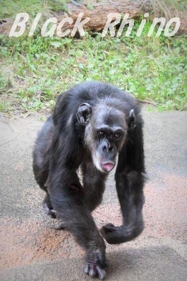 ニシチンパンジー ヨウ03 日立市かみね動物園