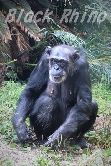 ニシチンパンジー ヨウ04 日立市かみね動物園