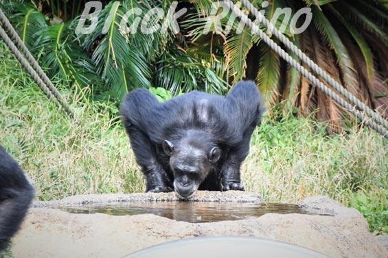 ニシチンパンジー ヨウ05 日立市かみね動物園