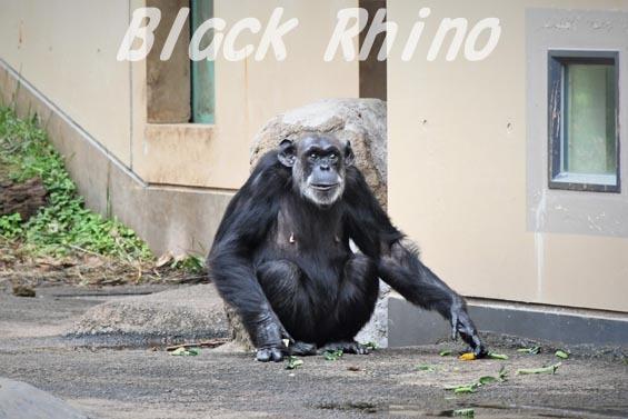 ニシチンパンジー ヨウ06 日立市かみね動物園