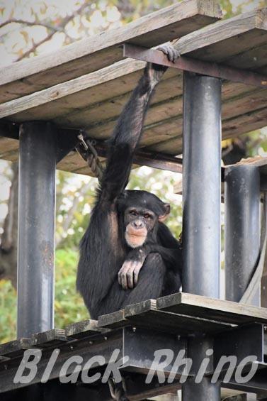 ニシチンパンジー ゴウ01 日立市かみね動物園