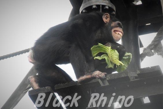 ニシチンパンジー ゴウ02 日立市かみね動物園
