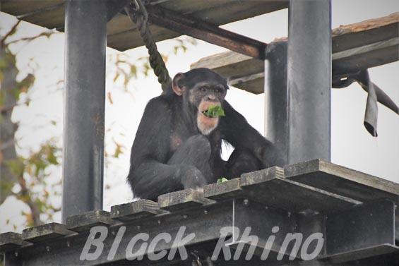 ニシチンパンジー ゴウ03 日立市かみね動物園