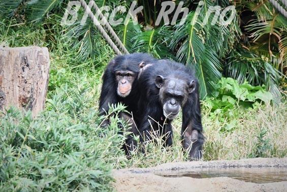 ニシチンパンジー ゴウ04 日立市かみね動物園