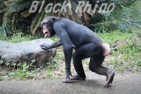 ニシチンパンジー イチゴ01 日立市かみね動物園