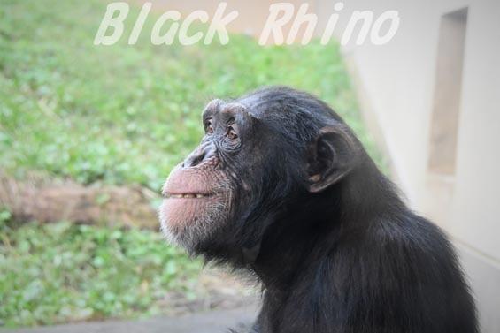 ニシチンパンジー イチゴ02 日立市かみね動物園