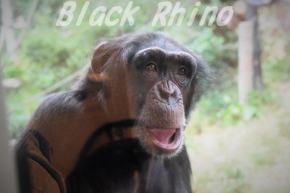 ニシチンパンジー イチゴ03 日立市かみね動物園