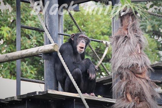 ニシチンパンジー イチゴ04 日立市かみね動物園
