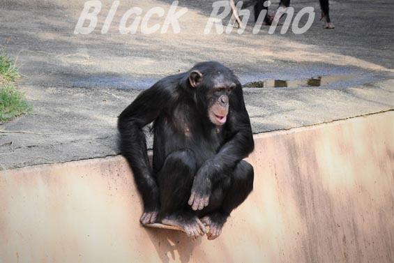 ニシチンパンジー イチゴ05 日立市かみね動物園