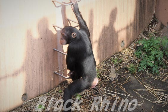 ニシチンパンジー イチゴ06 日立市かみね動物園
