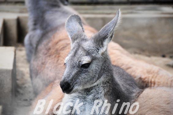 ケンガワラルー01 多摩動物公園