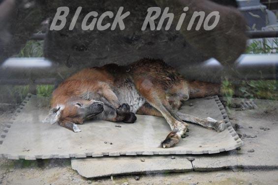 ケンガワラルー03 多摩動物公園