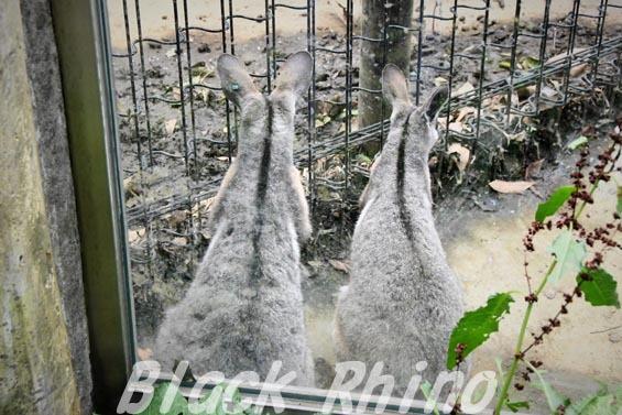 シマオイワワラビー03 多摩動物公園