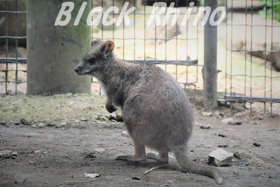 パルマワラビー01 多摩動物公園