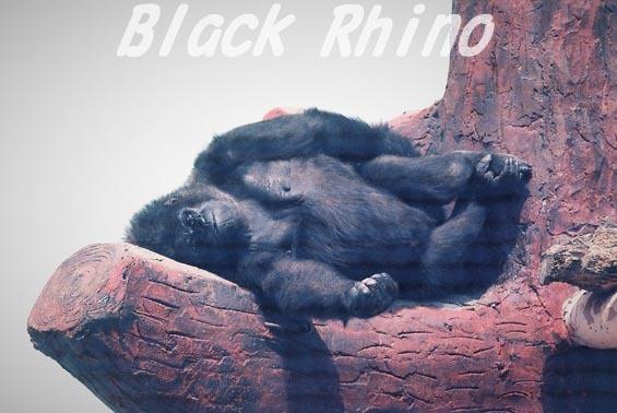ニシローランドゴリラ アキ01 日立市かみね動物園
