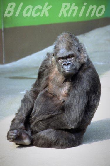 ニシローランドゴリラ アキ07 日立市かみね動物園