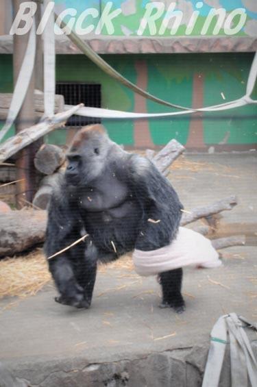 ニシローランドゴリラ ダイスケ10 日立市かみね動物園