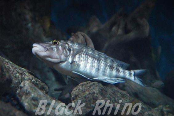 ロボキロテス ラビアータス02 アクア・トトぎふ