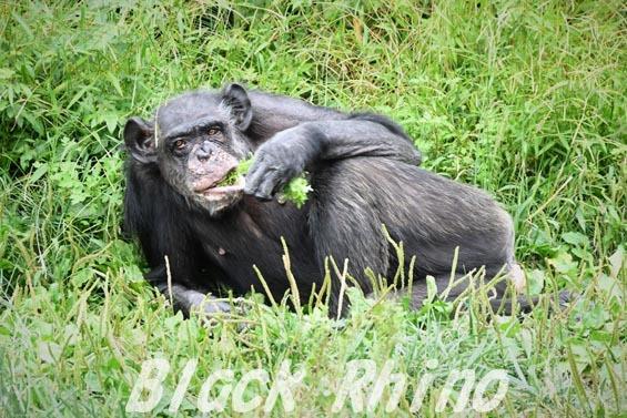 ニシチンパンジー マツコ01 日立市かみね動物園