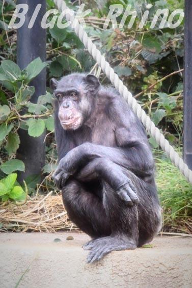 ニシチンパンジー マツコ03 日立市かみね動物園