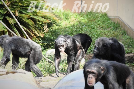 ニシチンパンジー マツコ05 日立市かみね動物園