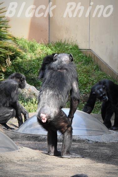 ニシチンパンジー マツコ06 日立市かみね動物園