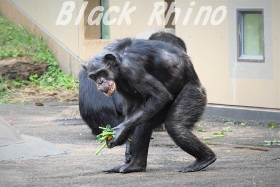 ニシチンパンジー マツコ07 日立市かみね動物園