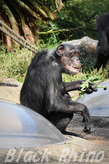 ニシチンパンジー マツコ08 日立市かみね動物園