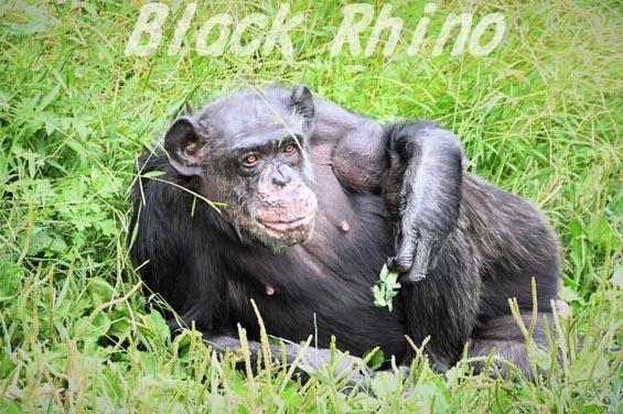 ニシチンパンジー マツコ09 日立市かみね動物園