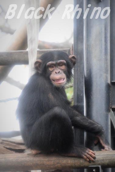 ニシチンパンジー リョウマ01 日立市かみね動物園
