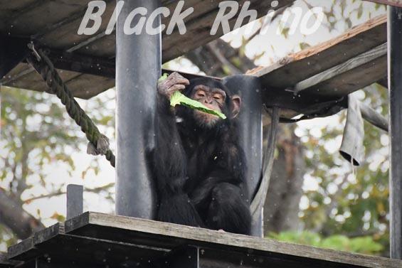 ニシチンパンジー リョウマ02 日立市かみね動物園