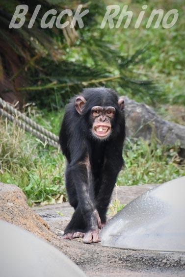 ニシチンパンジー リョウマ03 日立市かみね動物園
