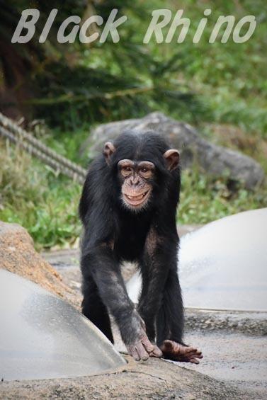 ニシチンパンジー リョウマ04 日立市かみね動物園
