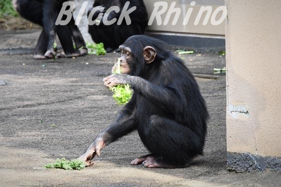 ニシチンパンジー リョウマ05 日立市かみね動物園